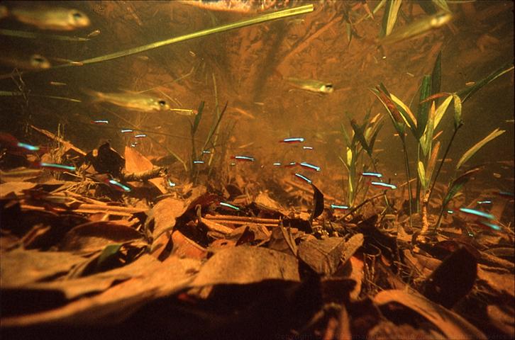 Amazon underwater photographs for Amazon aquarium fish