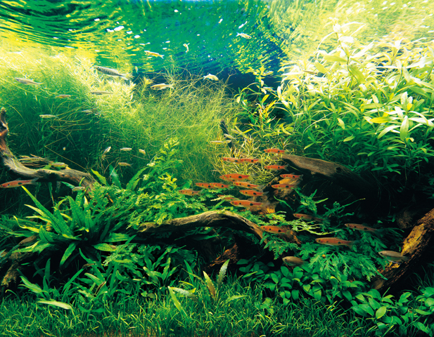 nature aquarium photographs amanotakashinet